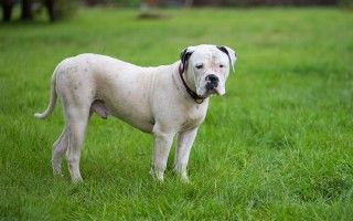 Американский бульдог: описание породы, характер собаки, уход и воспитание