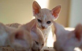 Чем лучше кормить котенка: кормом или натуралкой