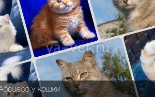 Абсцесс у кота лечение в домашних условиях абсцесс параанальной железы