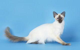 Балийская кошка история описание породы