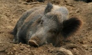 Животное вепрь описание кабана где обитает и сколько весит