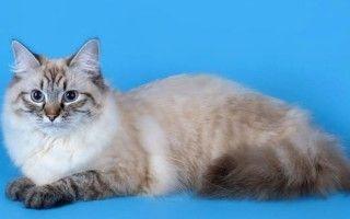 Невская маскарадная порода кошек бриллиант отечественной фелинологии