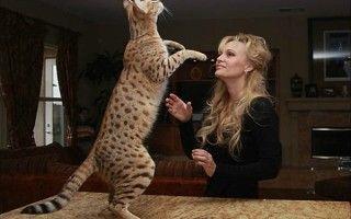 Породы больших кошек ? Самые большие породы домашних кошек в мире
