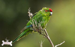 Какарик новозеландский попугай ? фото, отзывы владельцев, умеют ли разговаривать, цена, уход и содержание, размножение, сколько живут какарики